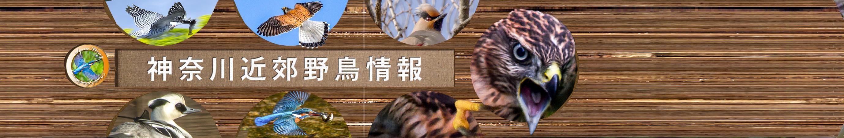 神奈川近郊野鳥情報